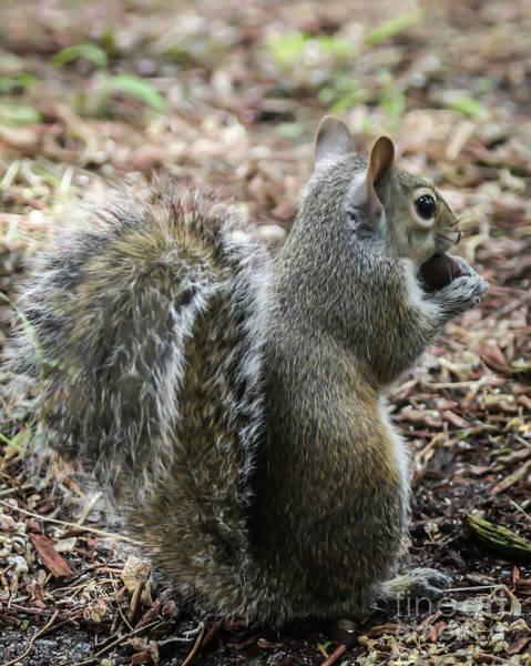 Photograph - Fluffy Florida Squirrel  by Sabrina L Ryan