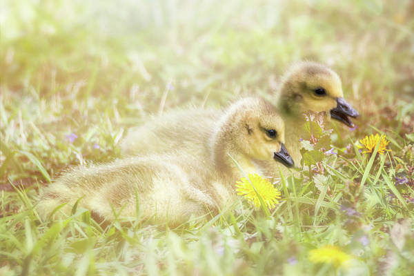 Photograph - Fluffy Gosling Chicks #1 by Patti Deters