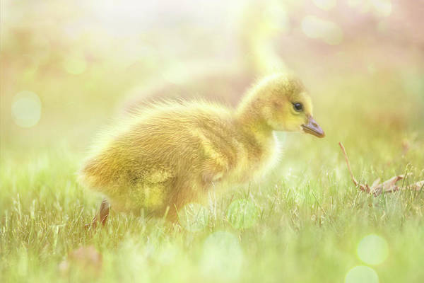 Photograph - Fluffy Gosling Chicks #2 by Patti Deters