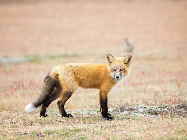 Wall Art - Photograph - Fluffy Red Fox Kit by Stephanie McDowell