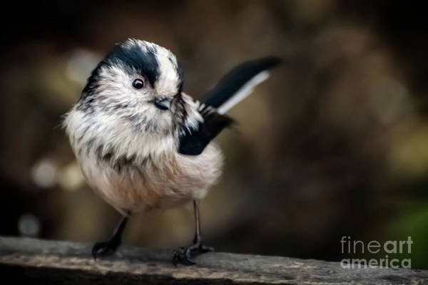 Tit Photograph - Fluffy The Long-tailed Tit  by Adrian Evans