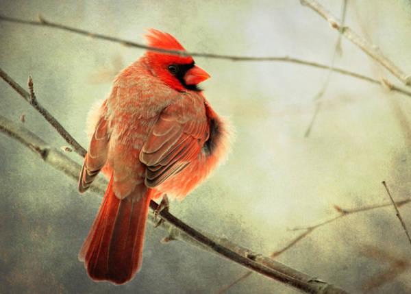 Fluffy Winter Cardinal Art Print