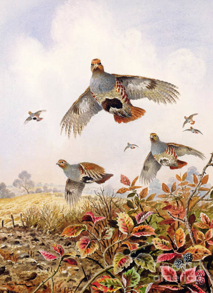 Wall Art - Painting - Flushed Partridges by Carl Donner