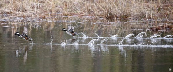 Photograph - Flushing A Pair Of Hooded Mergansers by John Meader
