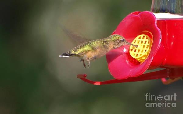 Photograph - Fluttering Feeder Hummingbird by Vivian Martin
