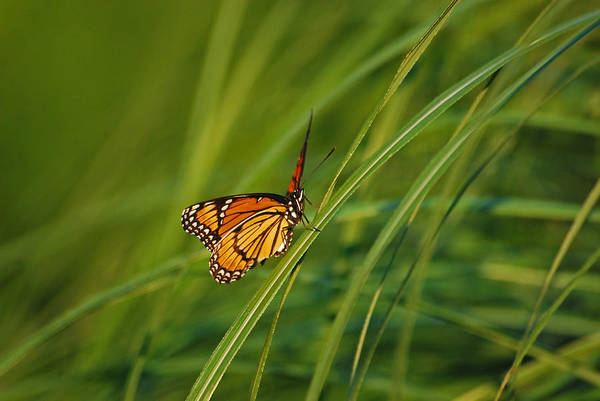 Photograph - Fluttering Through The Summer Grass by Lori Tambakis
