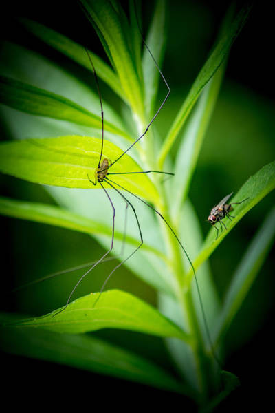 Harvestman Photograph - Fly And The Spider by Chris Bordeleau