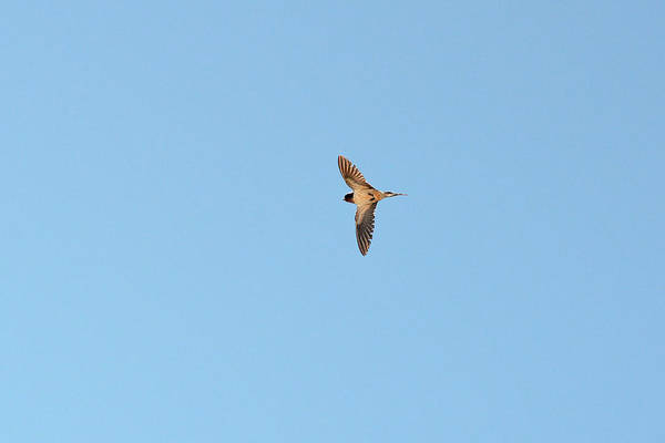 Violet-green Swallow Photograph - Fly, Fly Fast Barn Swallow by Asbed Iskedjian