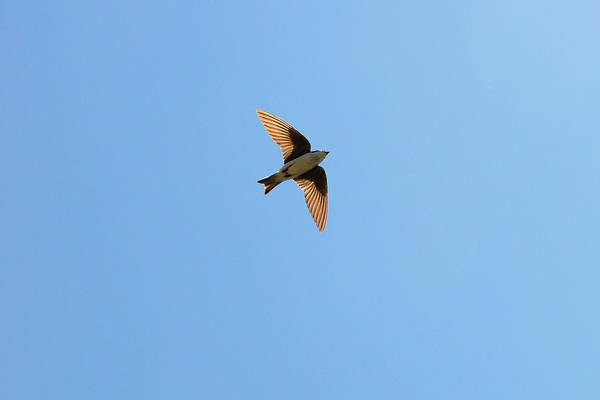 Violet-green Swallow Photograph - Fly, Fly High Tree Swallow by Asbed Iskedjian