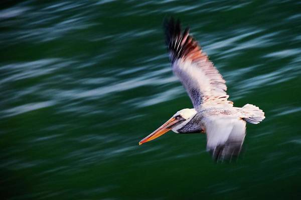 Photograph - Flyby, California Brown Pelican by Flying Z Photography by Zayne Diamond