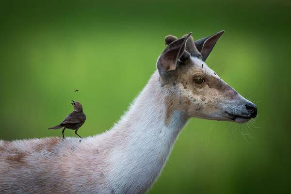 Wall Art - Photograph - Flycatcher On A Pie Bald Deer by Paul Freidlund