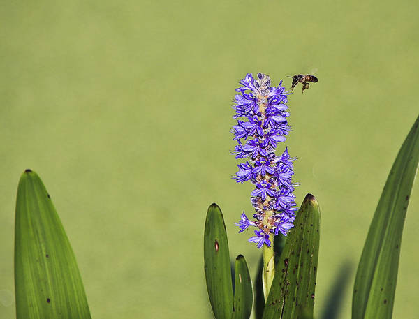 Photograph - Flying And Buzzing by Jon Glaser