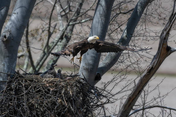 Photograph - Flying Away From The Nest by Dan Friend