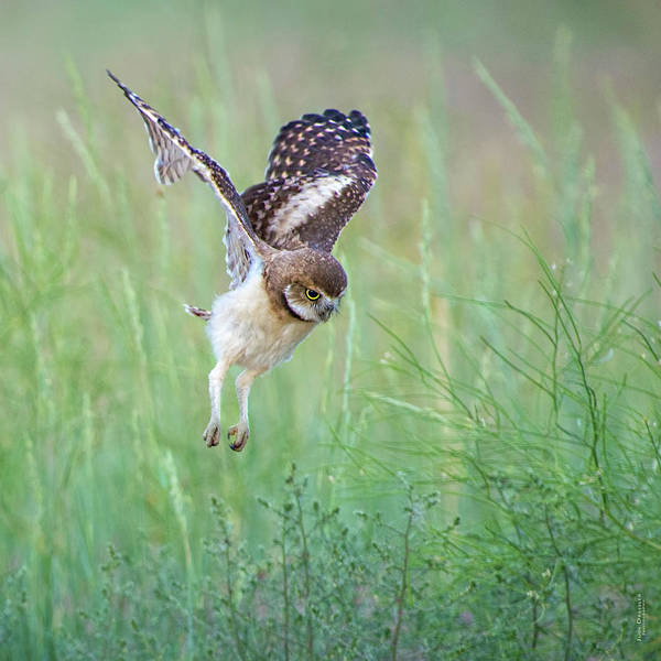 Photograph - Flying Baby Burrowing Owl by Judi Dressler