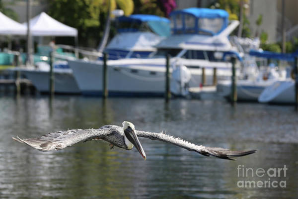 Wall Art - Photograph - Flying Brown Pelican With Boats by Carol Groenen