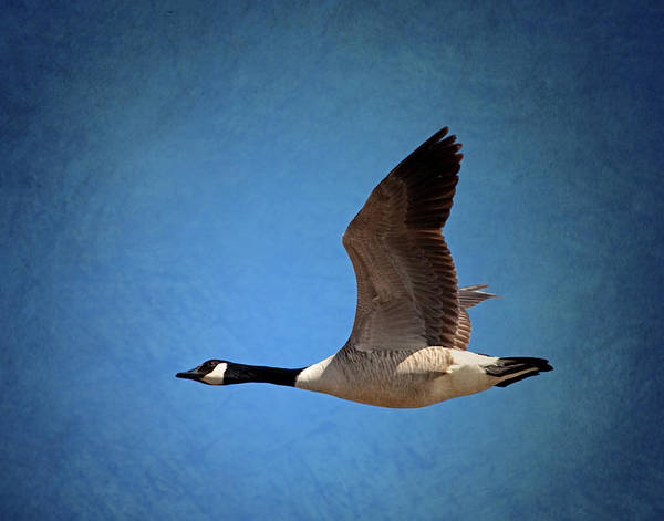 Wall Art - Photograph - Flying Canadian Goose by Al  Mueller