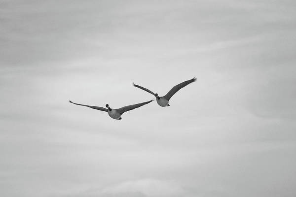 Photograph - Flying Companions by Jason Coward