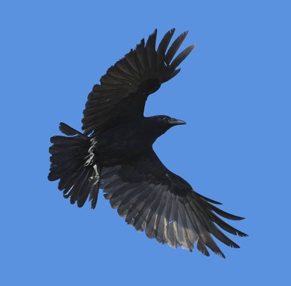 Photograph - Flying Crow by Bradford Martin