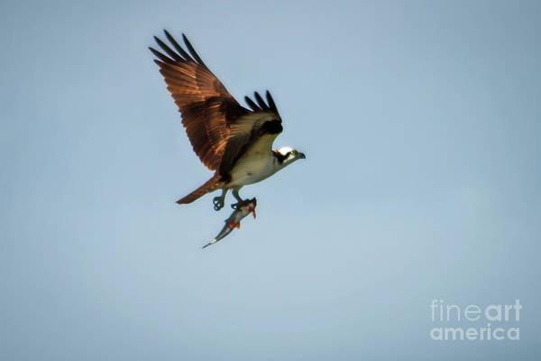 Sea Hawk Photograph - Flying Fish by Robert Bales