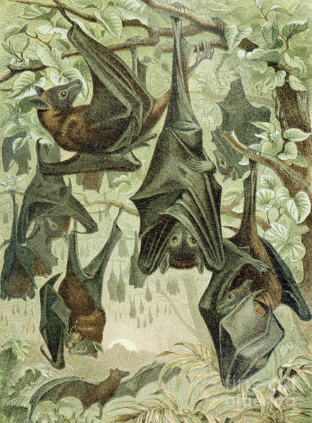 Flying Drawing - Flying Foxes by German School