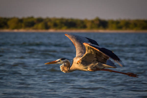 Photograph - Flying Great Blue Heron by Ron Pate