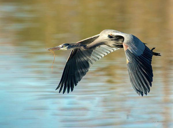 Photograph - Flying Great Blue by Judi Dressler