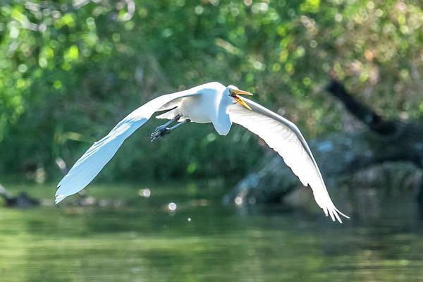 Wall Art - Photograph - Flying Great Egret by Paul Freidlund