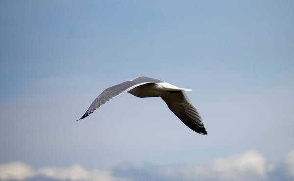 Photograph - Flying Gull by Donna L Munro