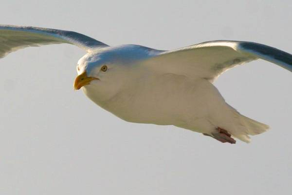 Photograph - Flying Gull by Polly Castor