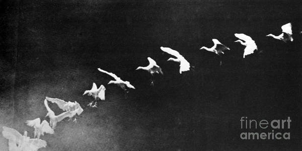 Cinematography Photograph - Flying Heron, 1886 by Science Source