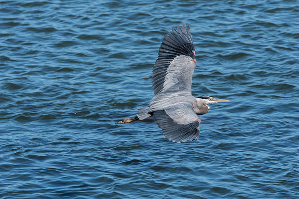 Photograph - Flying Heron by Robert Potts
