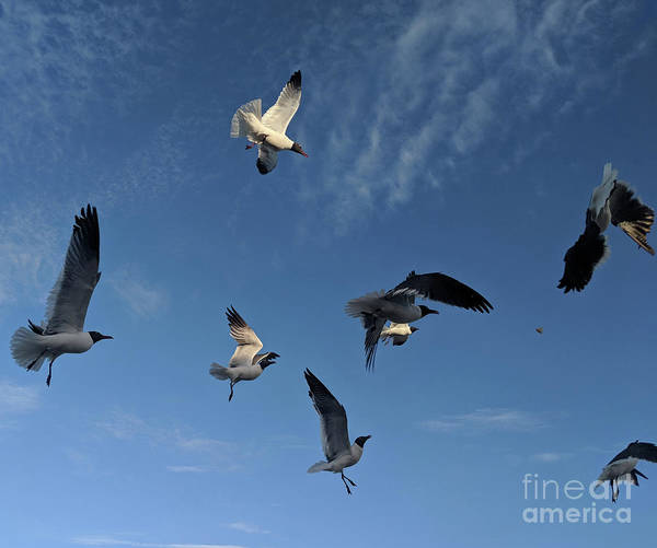 Photograph - Flying High Seagulls by Roberta Byram