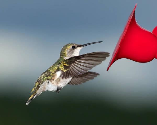 Wall Art - Photograph - Flying Hummingbird Close-up by Al  Mueller