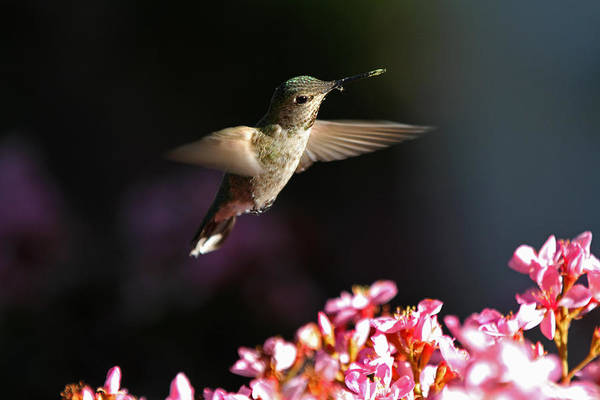 Photograph - Flying Hummingbird by Juergen Roth