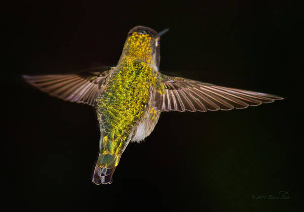 Photograph - Flying Jewel by Brian Tada