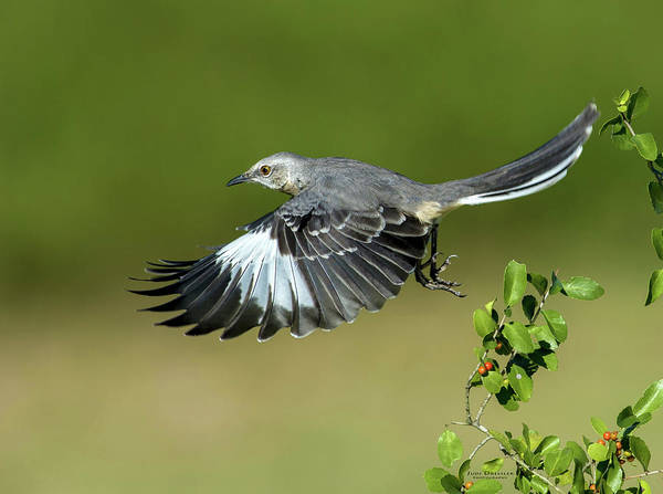 Photograph - Flying Mockingbird by Judi Dressler