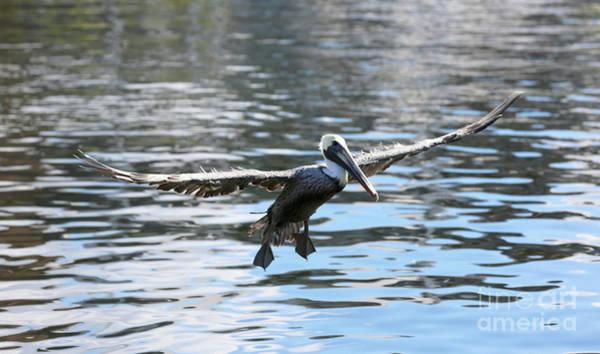 Wall Art - Photograph - Flying Pelican Over Harbor Water by Carol Groenen