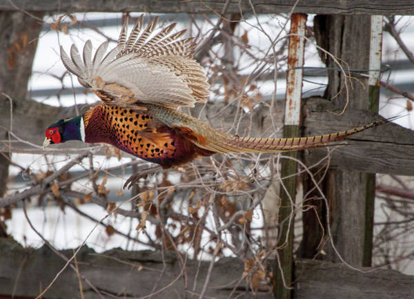Photograph - Flying Pheasant by Wesley Aston