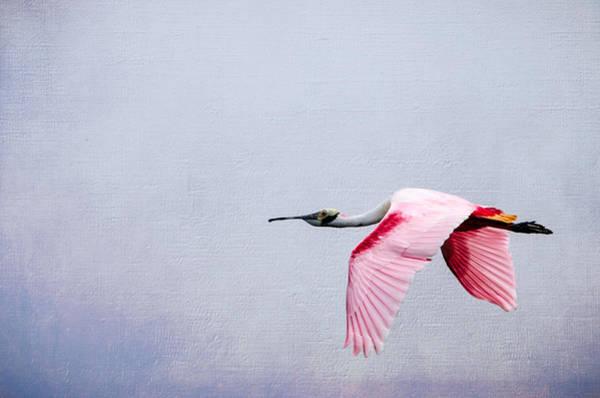 Bif Photograph - Flying Pretty - Roseate Spoonbill by Debra Martz