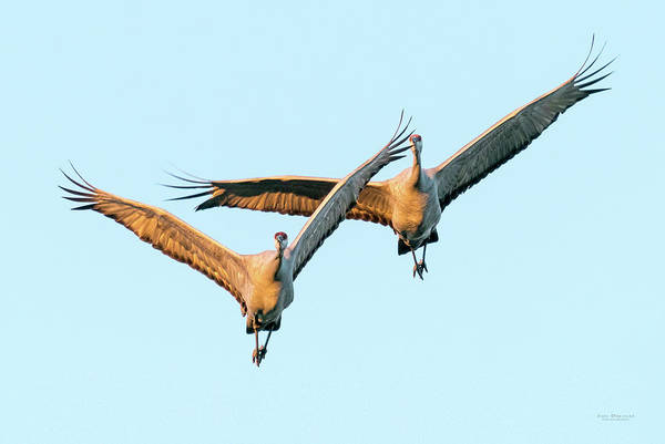 Photograph - Flying Sandhill Cranes by Judi Dressler