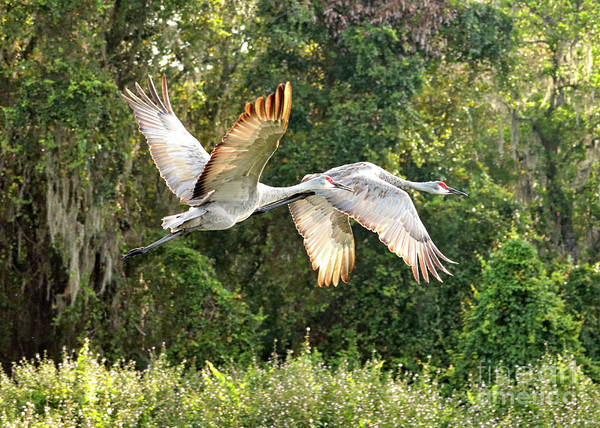 Photograph - Flying Sandhill Pair by Carol Groenen