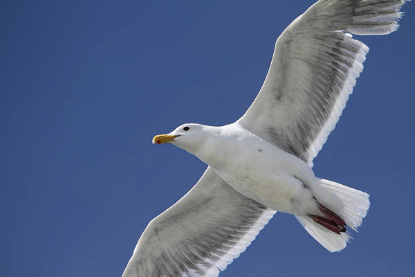 Photograph - Flying Seagull Against A Summer Sky by Peggy Collins
