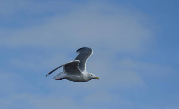 Photograph - Soaring Seagull by Marilyn Wilson