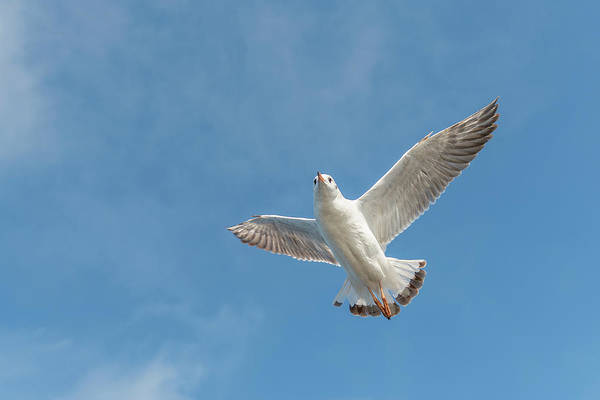 Photograph - Flying Seagull by Pradeep Raja PRINTS
