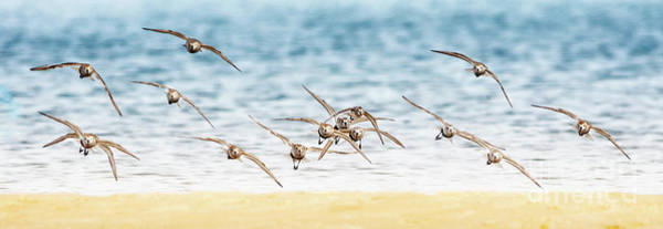 Dunlin Photograph - Flying Shore Birds Pano by Todd Bielby