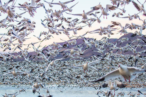 Wall Art - Photograph - Flying Snow Geese After The Sunrise - Bosque Del Apache, New Me by Ellie Teramoto