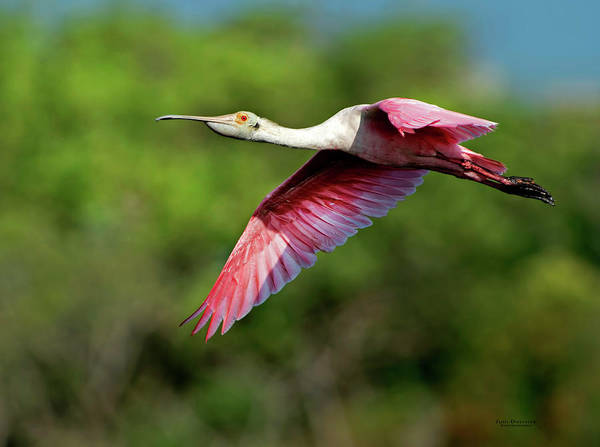 Photograph - Flying Spoonbill by Judi Dressler