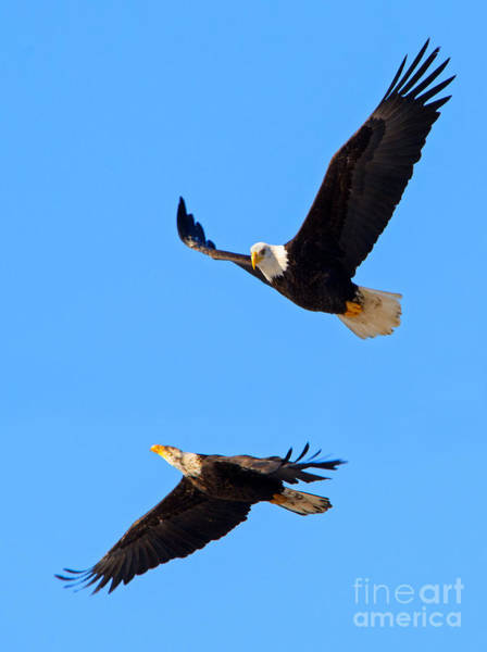 Bird Pair Photograph - Flying Tight by Mike Dawson