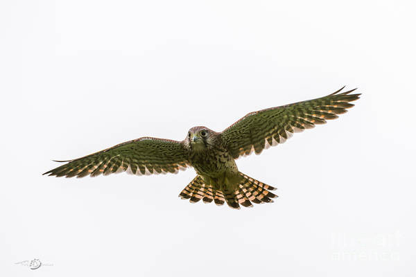 Photograph - Flying by Torbjorn Swenelius