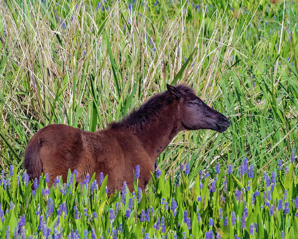 Photograph - Foal Grazing  by Joseph Caban